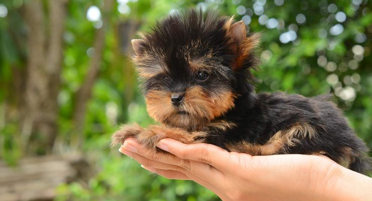 This Teacup Yorkie fits in the palm of your hand