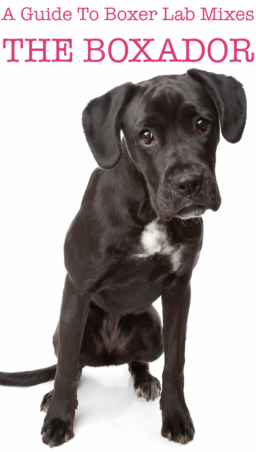 Boxer Lab Mix - Your Complete Guide to the Boxador