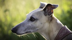 Long Face Dog – And Fascinating Facts About Dog Head Shape