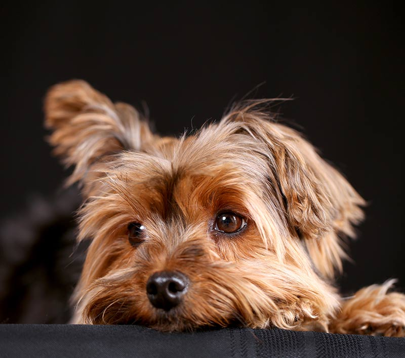 teacup yorkie a guide to the world 39 s smallest dog. Black Bedroom Furniture Sets. Home Design Ideas