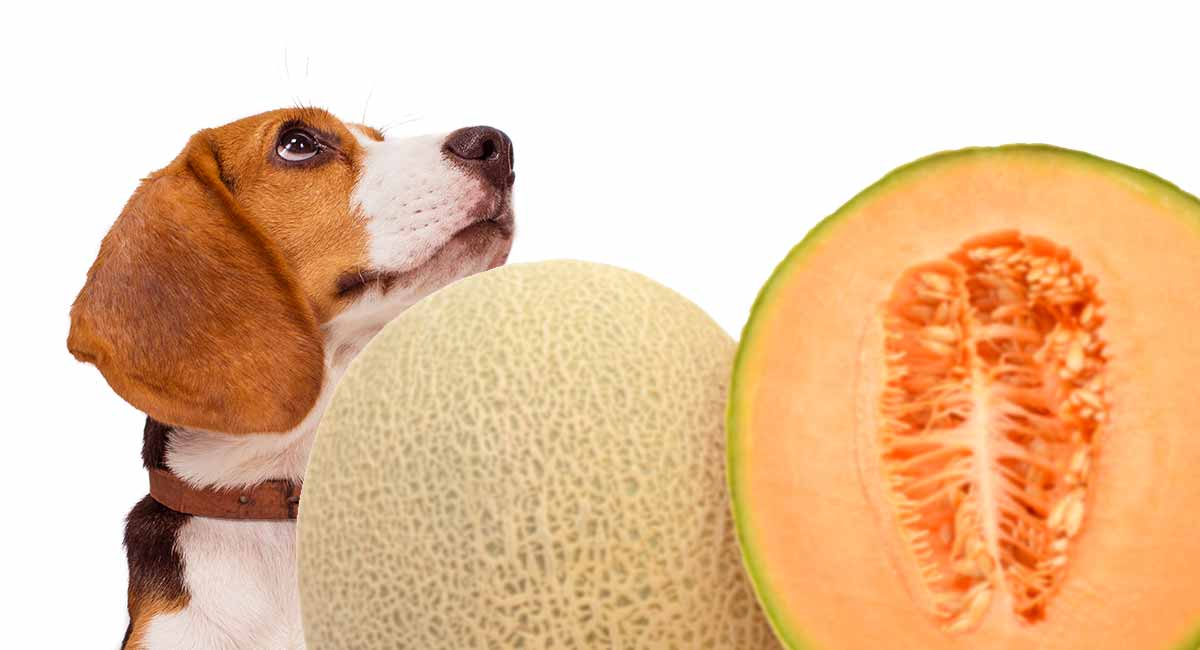 Can dogs eat cantaloupe and other melons