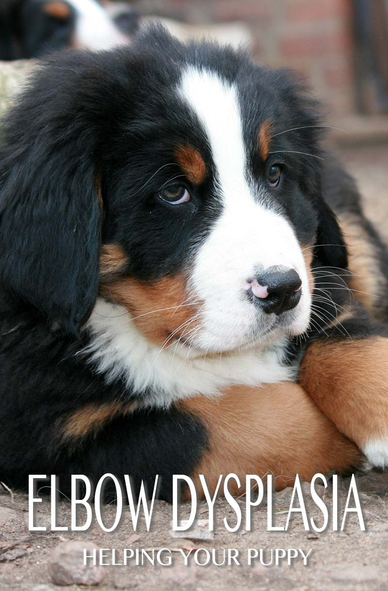Elbow dysplasia can be a problem for some Bernese Mountain Dog puppies