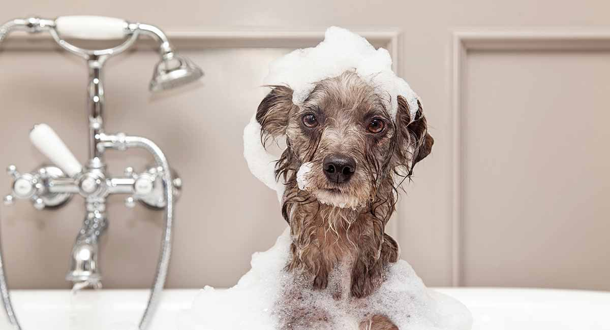 How To Get Rid of Dog Dandruff - A Guide to Causes and
