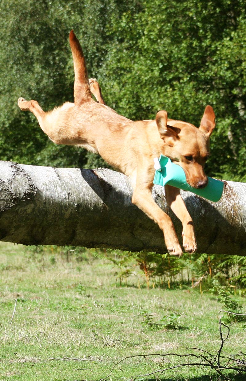 Find out how to teach a dog to jump like this yellow Lab