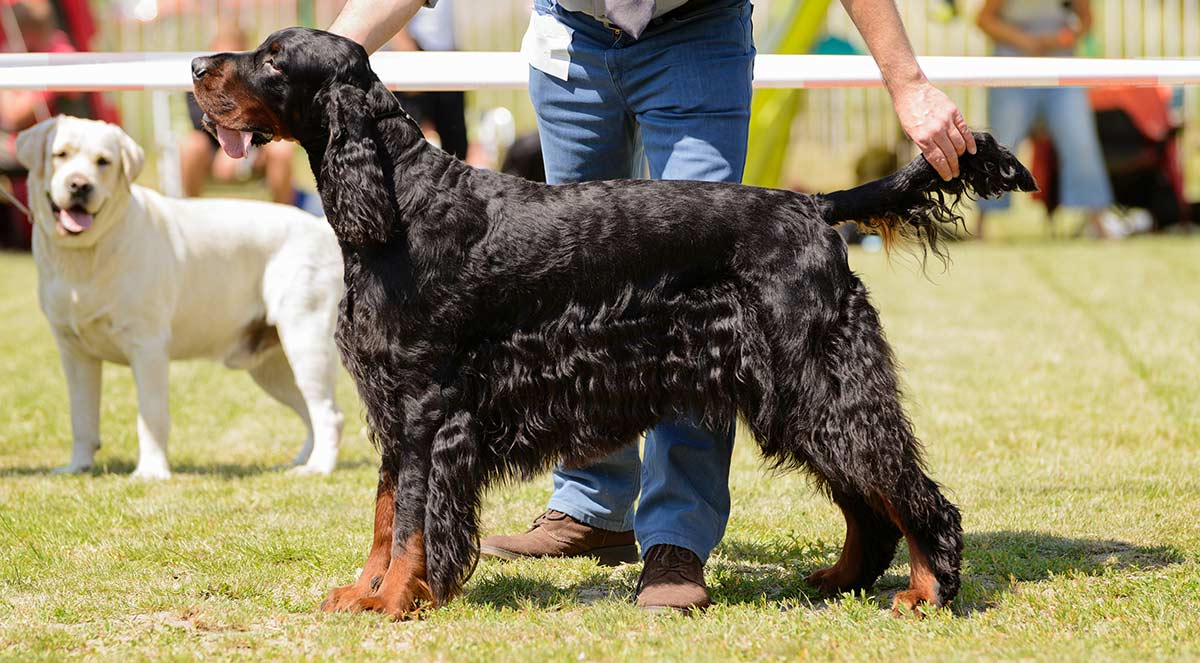 Dog conformation - definition and purpose of dog shows