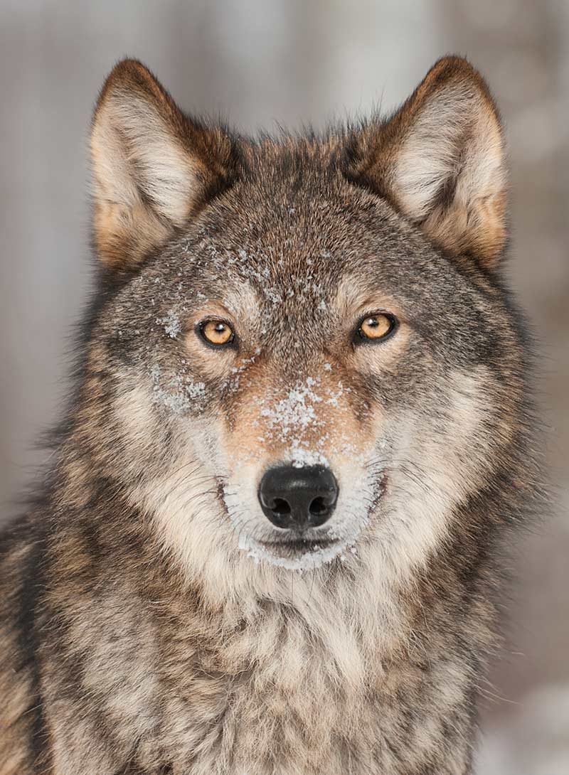 Perfect dog conformation - the ancestor of all our dogs - the grey wolf