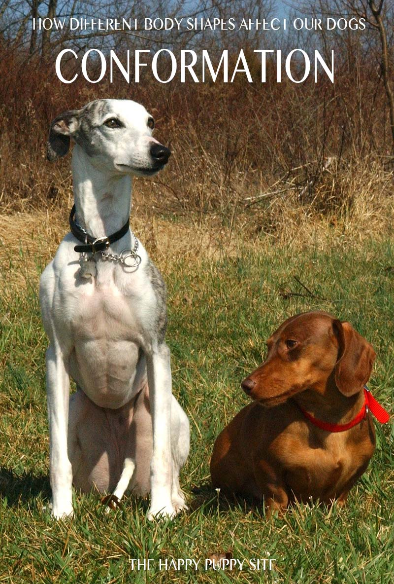 Canine conformation varies widely. This whippet and dachshund are very different