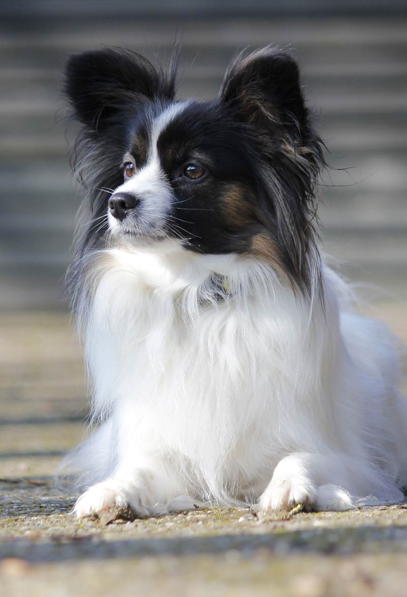 Dog conformation is predictable in purebred dogs