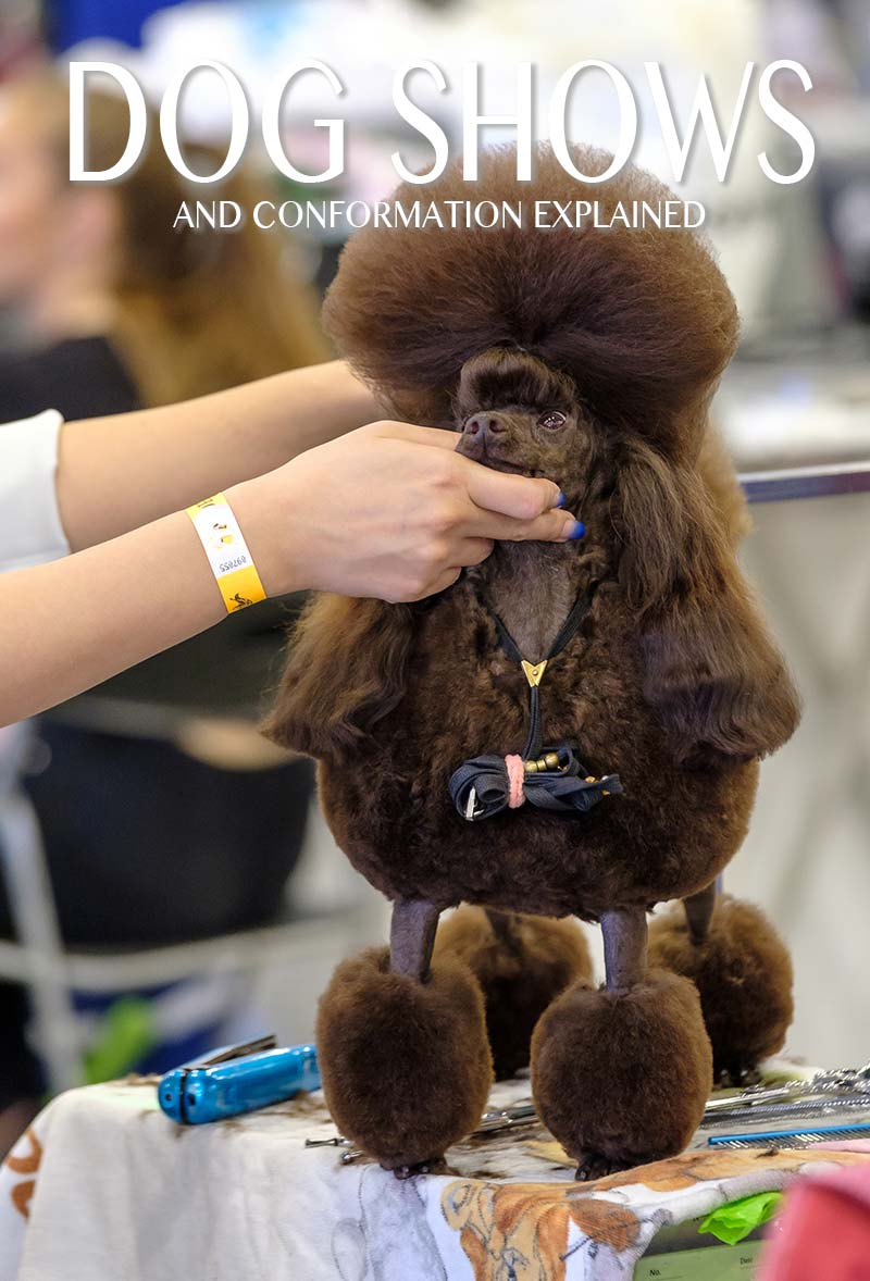 Dog conformation show - this poodle has been thoroughly groomed