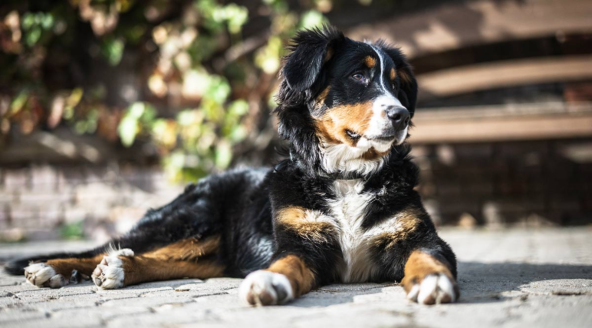 Puppy elbow dysplasia and the Bernese Mountain Dog
