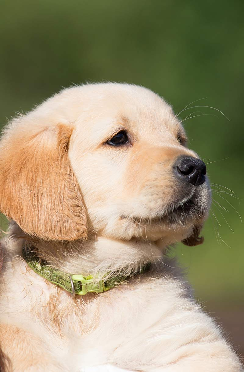Some breeds are more susceptible to puppy elbow dysplasia, including the golden retriever