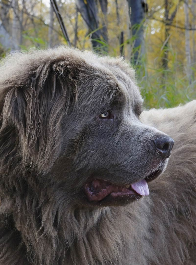 Some large breeds like this newfoundland are susceptible to puppy elbow dysplasi