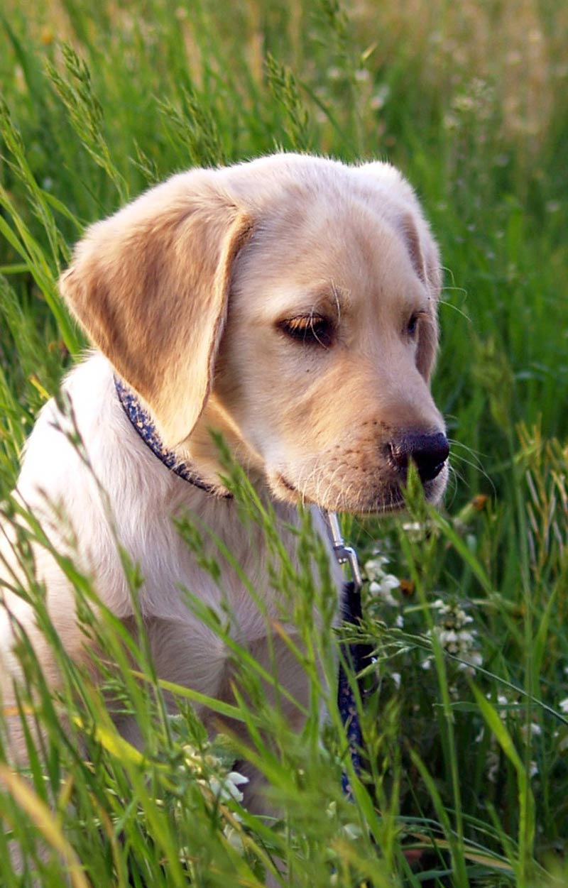 Labrador Retrievers like this lovely puppy are one of the breeds more likely to suffer from elbow dysplasia