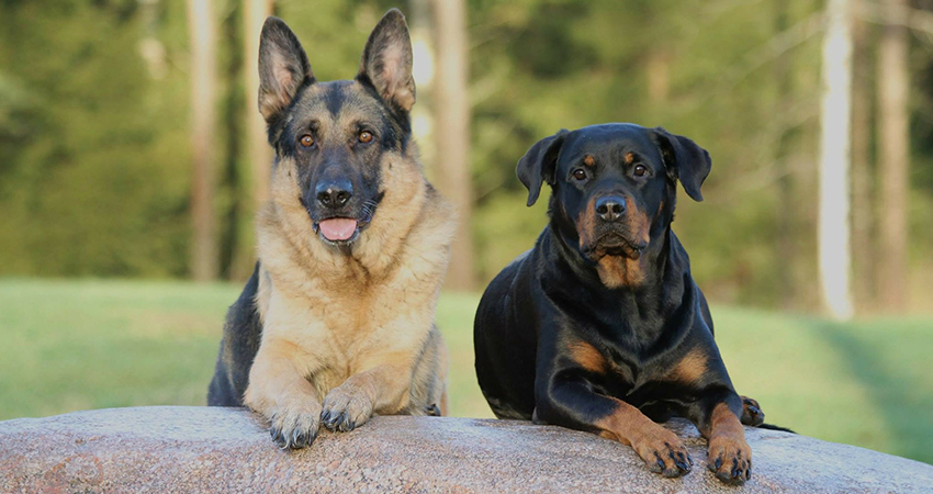 German Shepherd Rottweiler Mix - Your Complete Guide