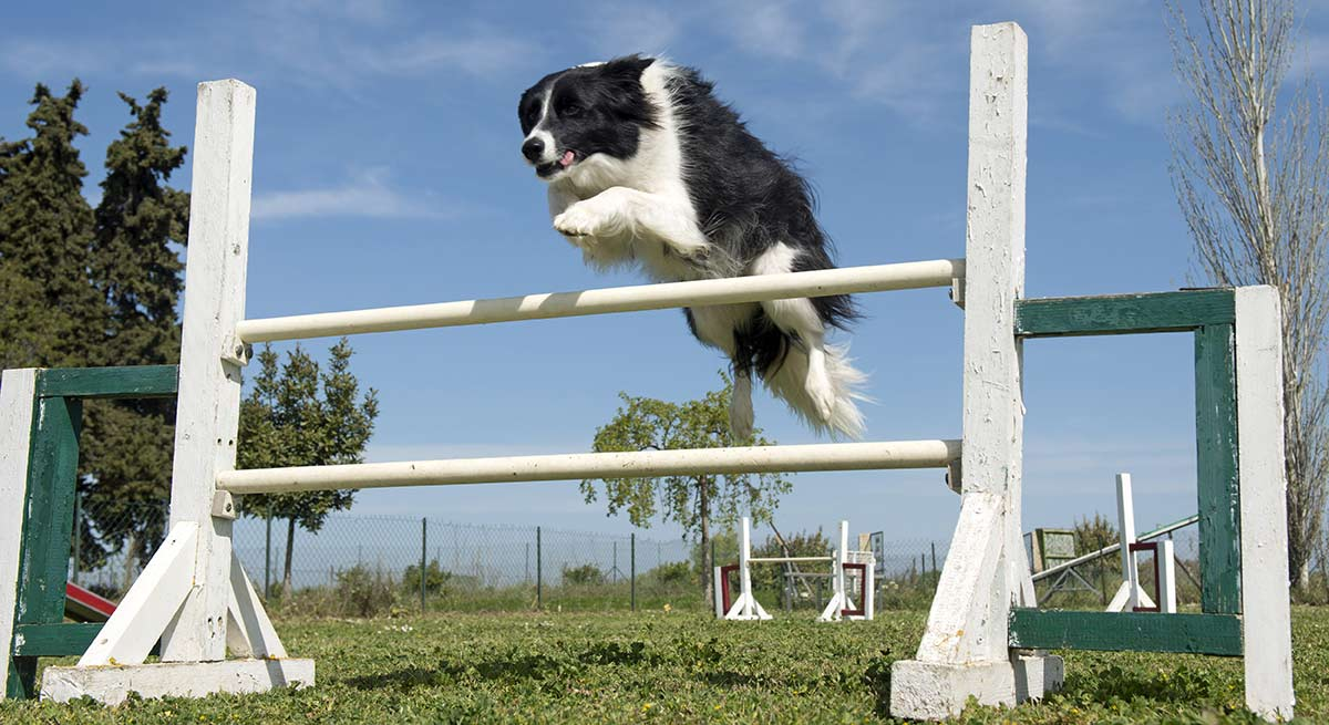 Find out how high can a dog jump!