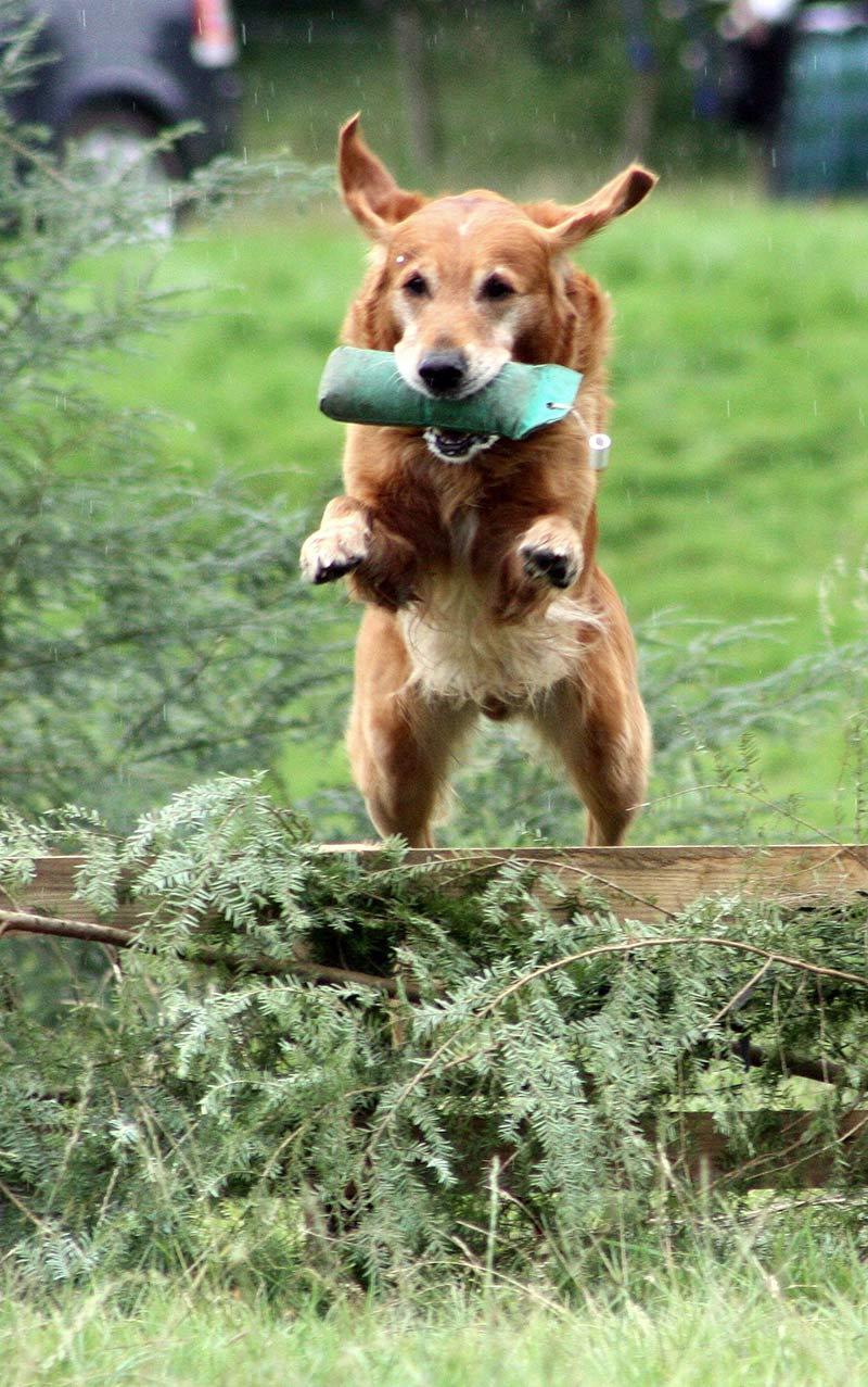 How to teach a dog to jump gun dog style like this retriever