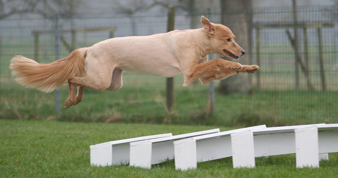 jumping dog - the long jump