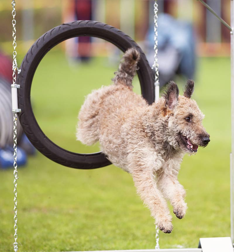 how to teach a dog to jump through a hoop