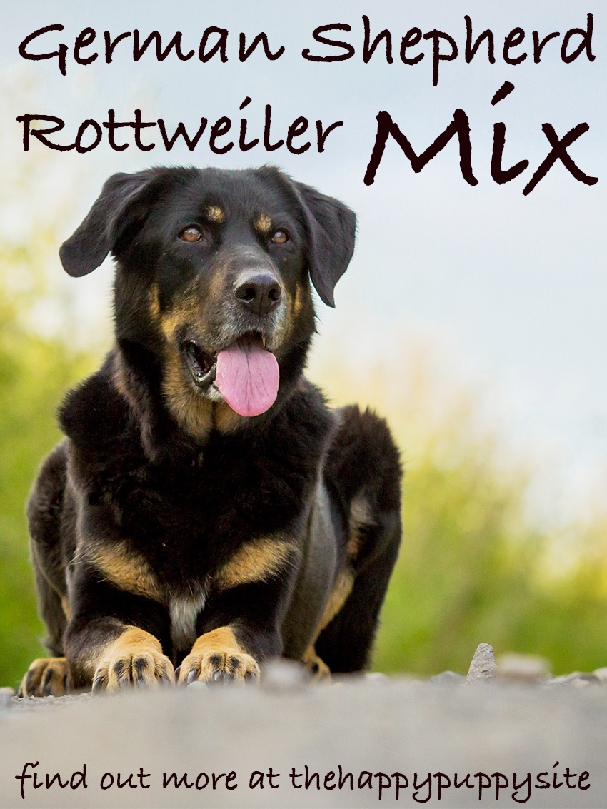 German Shepherd x Rottweiler - A Complete Guide To The German Shepherd Rottweiler Mix: Personality, Temperament and Characteristics.