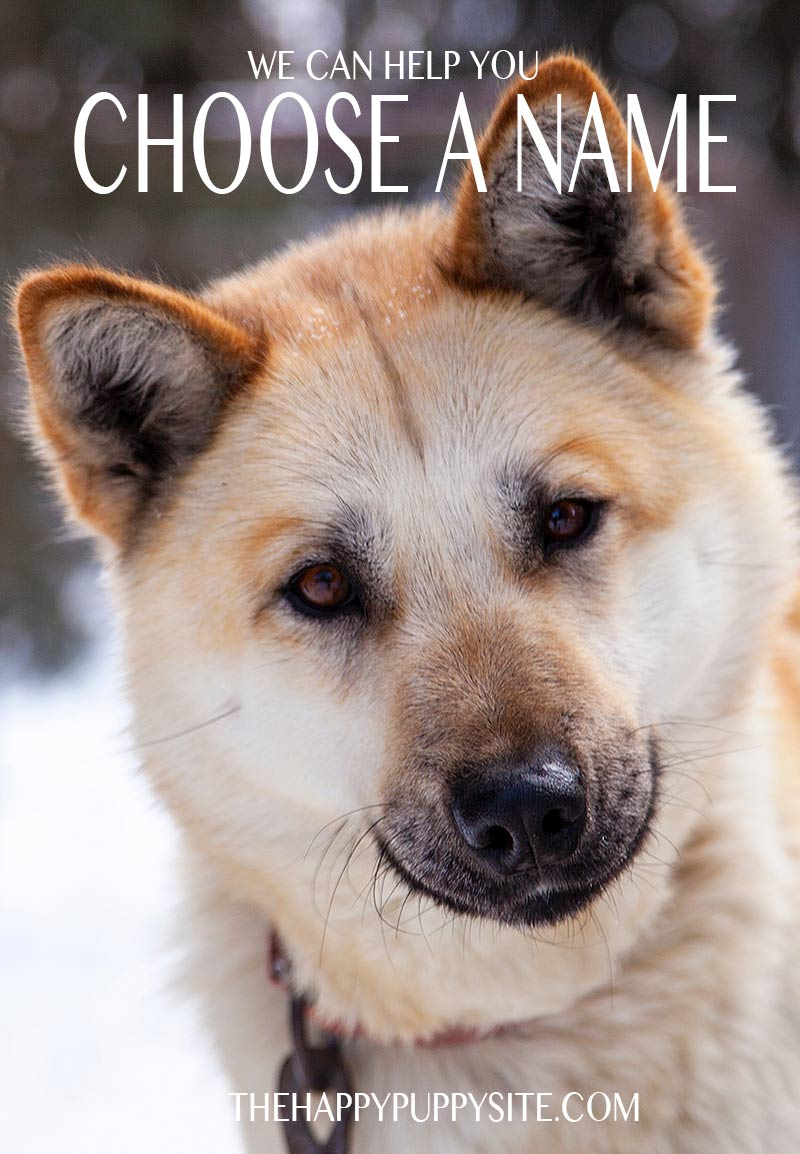101 cool husky names for you to choose from