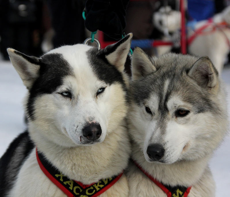 We have some great ideas for female husky names on The Happy Puppy Site