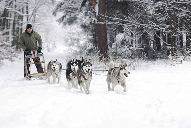 Huskies are working dogs, and a good choice of husky names include names that reflect the breeds origins