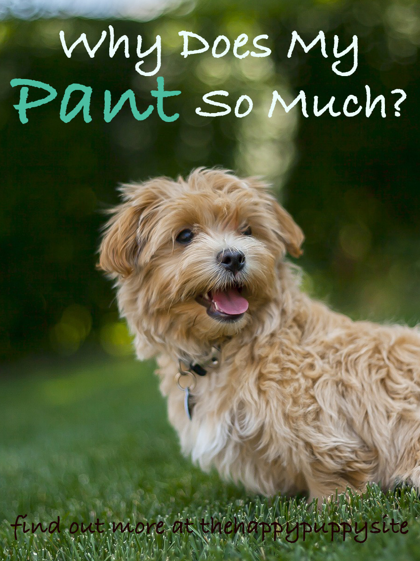 Why Do Dogs Pant? Why is my dog panting so much? What causes excessive panting in dogs? We answer all of your dog panting questions!
