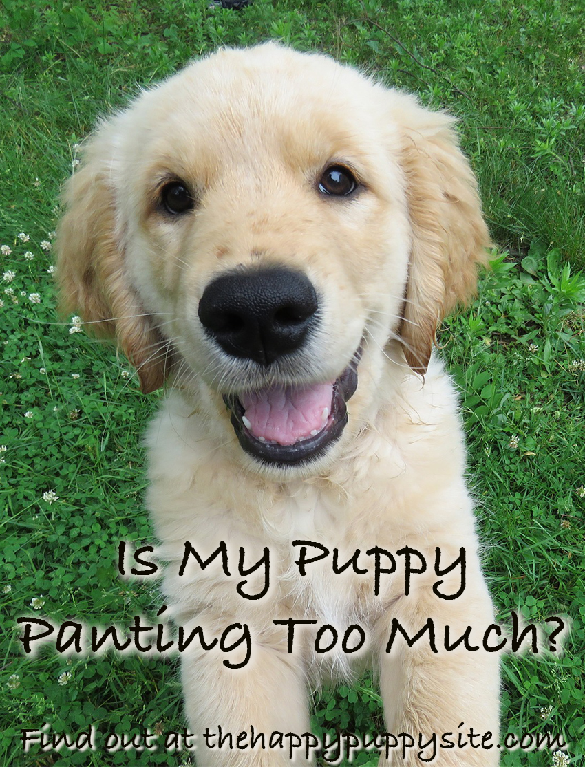 Why Do Dogs Pant? We look at puppy panting and what it means for your little dog.