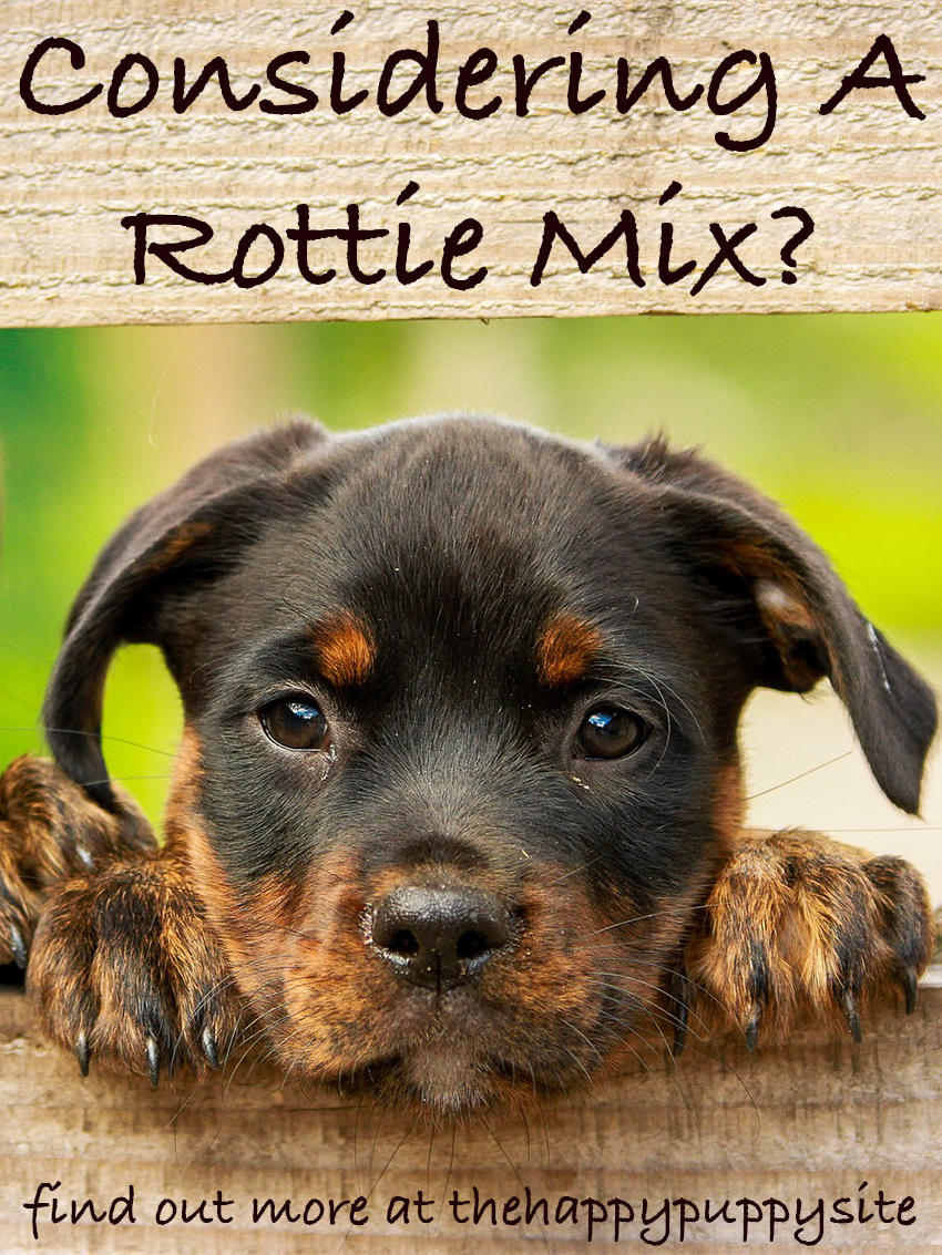 German Shepherd Rottie Mix Puppies May or May Not Look Like The Traditional Rottweiler