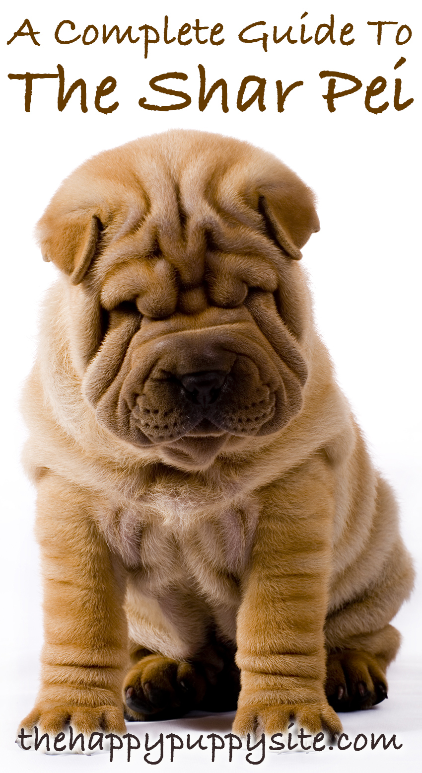 Do Shar Pei Make Good Pets? Let's find out!