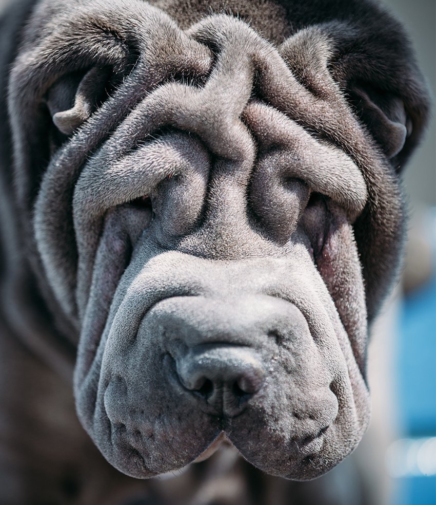 Blue Shar Pei. Shar Pei wrinkles might be cute, but they come at a heavy price. Horrendous health problems and painful skin conditions.