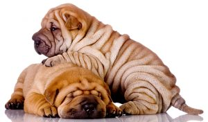 Shar Pei Dog Breed Guide – Checking Out Their Pros And Cons