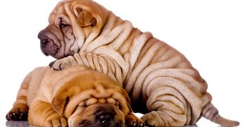 A Complete Guide To The Shar Pei