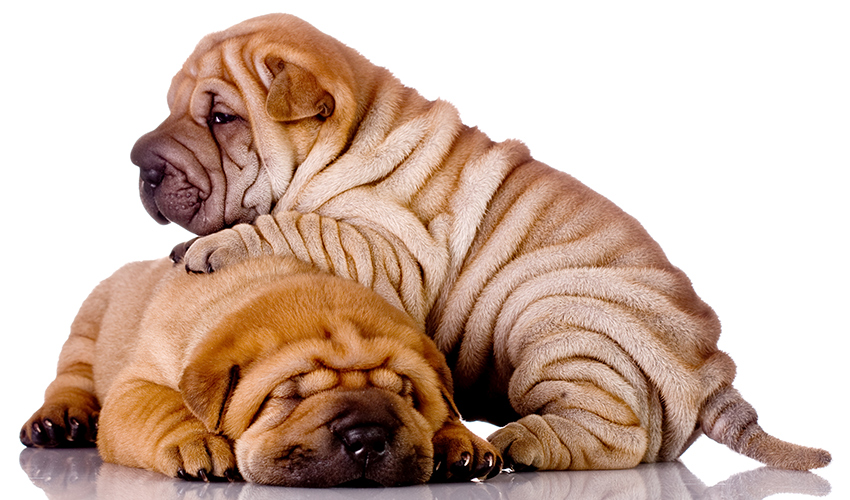 A Complete Guide To The Shar Pei Dog Breed. Everything you need to know about the world's wrinkliest dog.