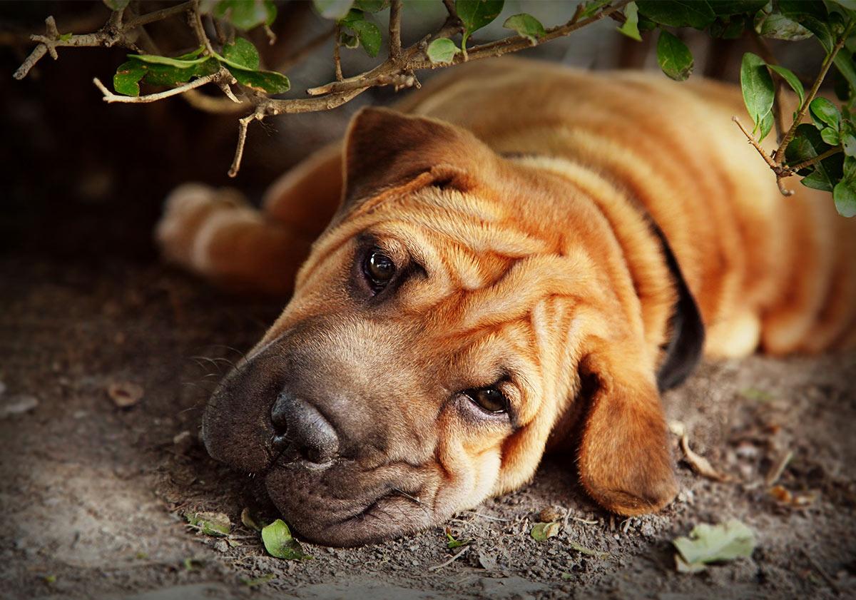 A wrinkled Shar Pei pup