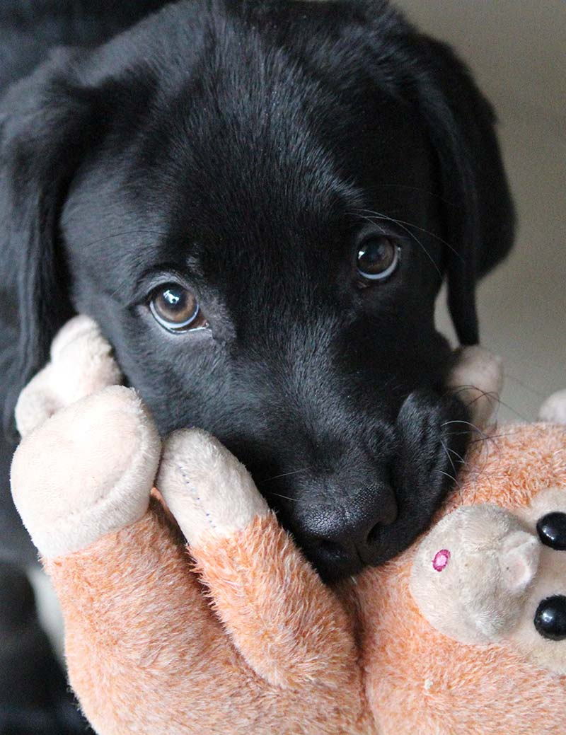 Labrador puppies enjoy carrying their toys around. It's part of their special dog temperament. Find out more on thehappypuppysite.com