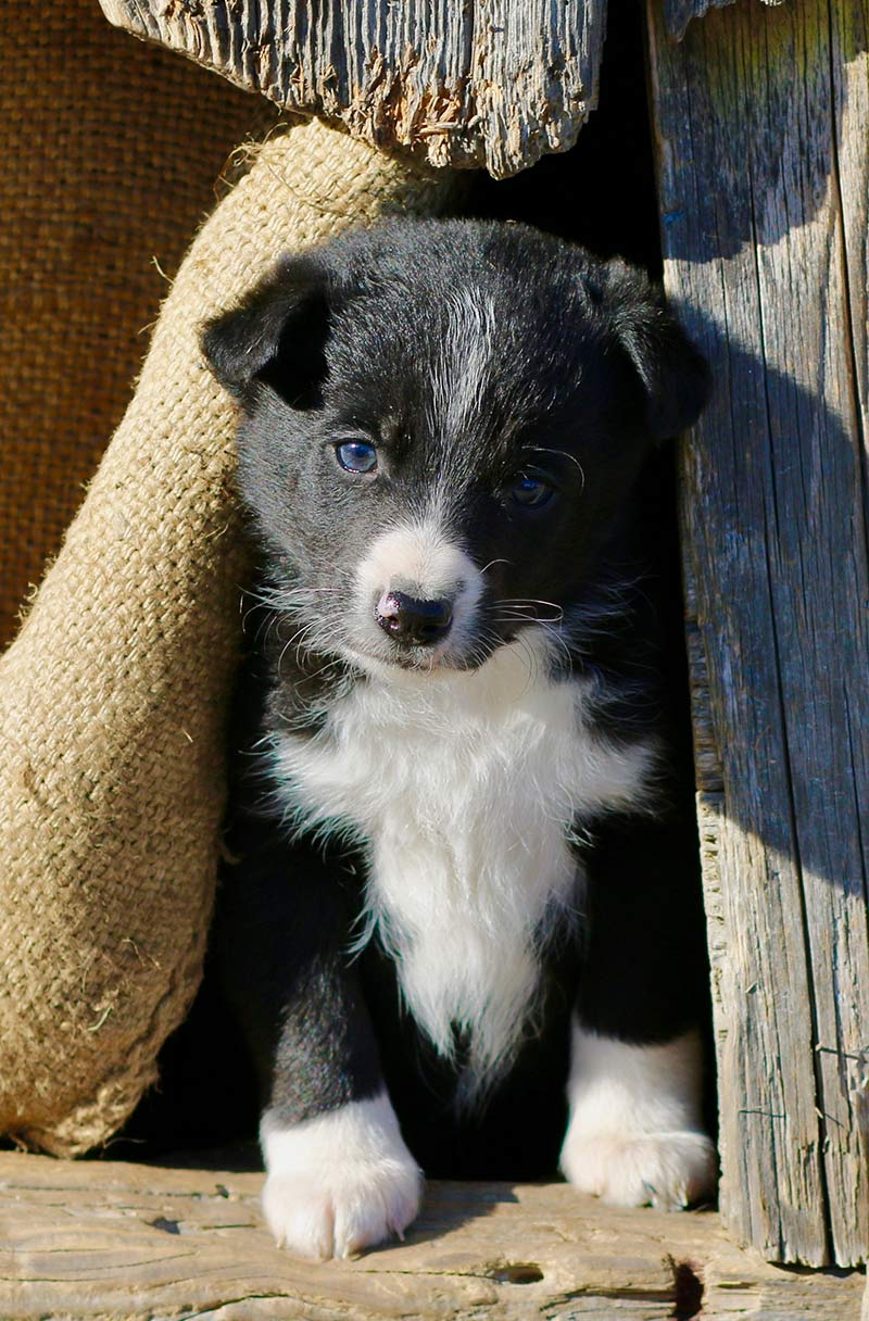 Dog temperament - some puppies - like this collie, inherit a herding instinct
