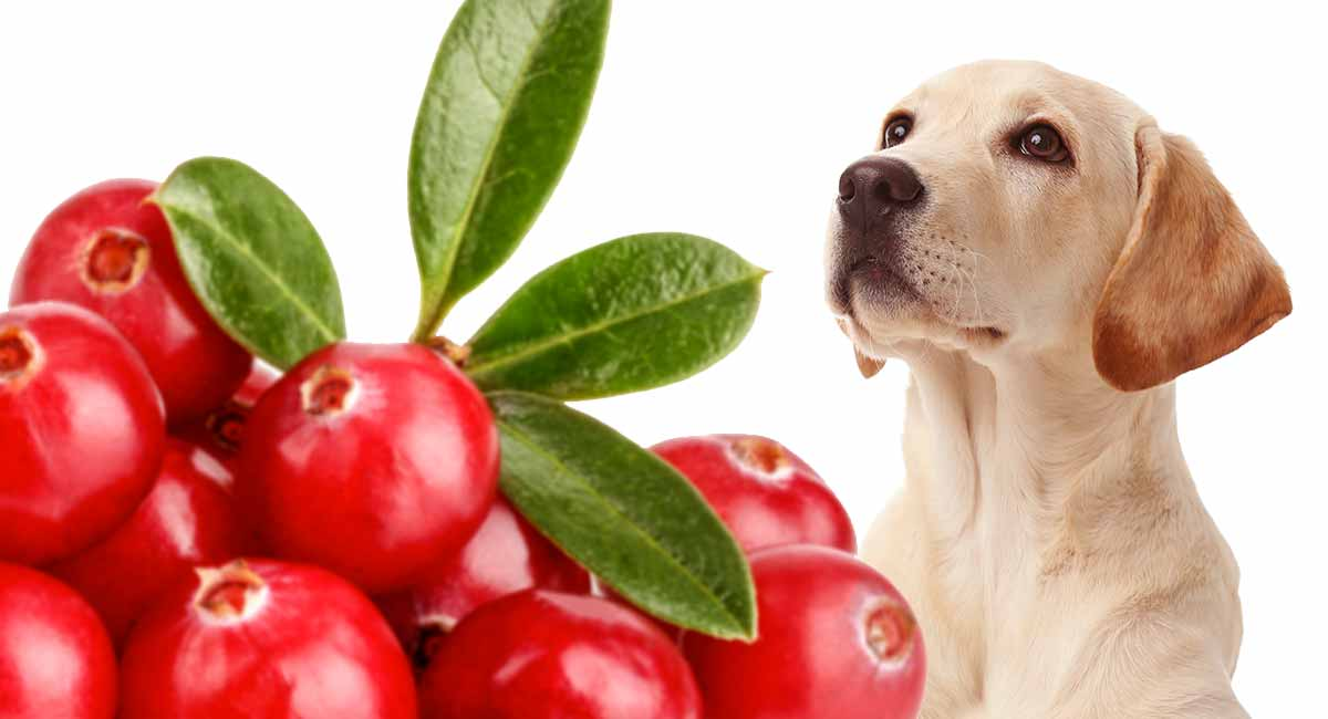 can dogs eat cranberries