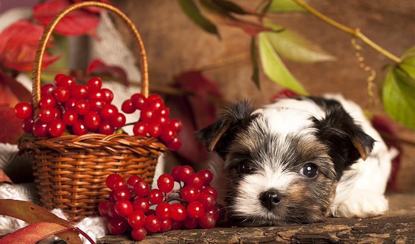 Can Dogs Eat Cranberries? A guide to food safely by The Happy Puppy Site