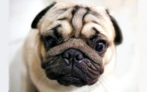Dogs with wrinkles - a guide to caring for wrinkled dogs