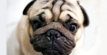 Dogs With Wrinkles: A Guide To Caring For Wrinkly Dogs