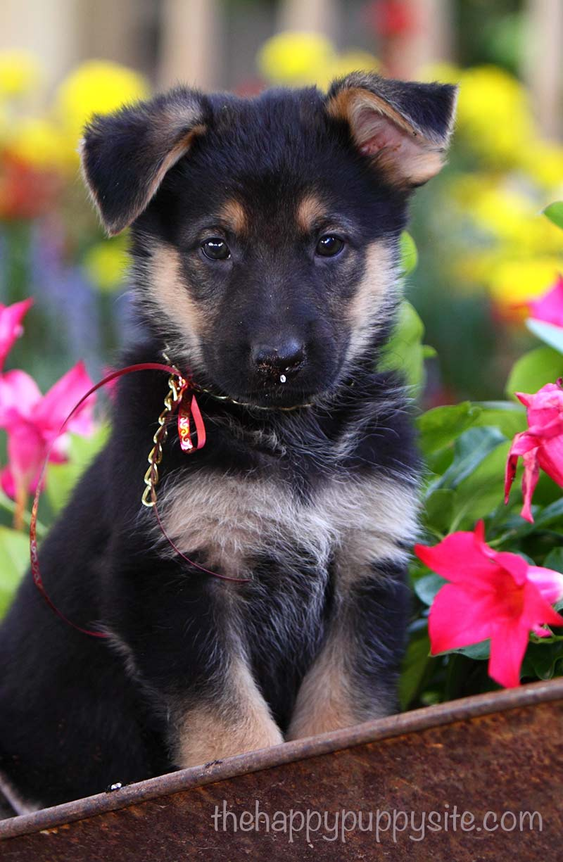 How to pick the right puppy for you - a detailed guide