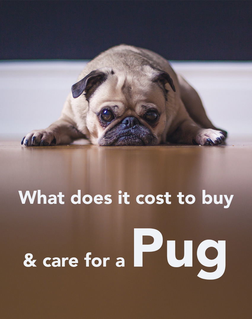 How Much Does A Pug Cost? Looking at buying price of different puppies