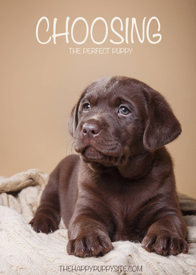 Choosing the Perfect Puppy isn't easy!  Find out how to pick the puppy of your dreams