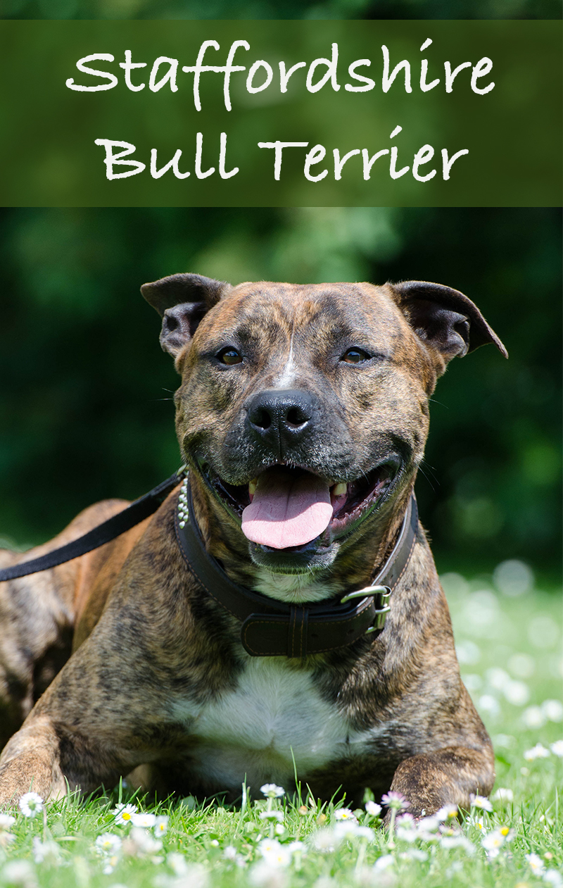 A Complete Guide To Staffordshire Bull Terriers by The Happy