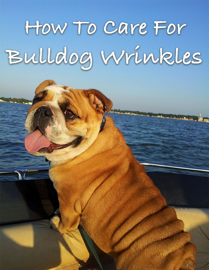 Good Bulldog wrinkle care is vital