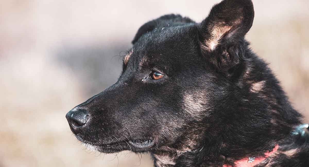 German Shepherd Lab Mix A Complete Guide To The Sheprador