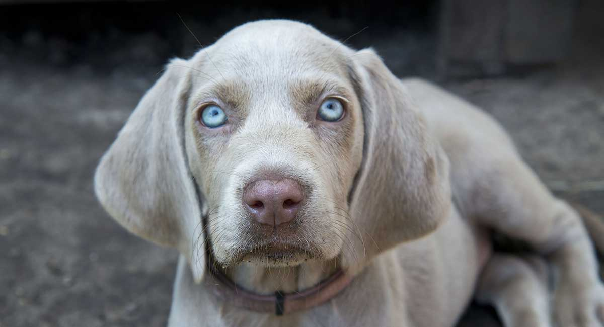 Weimaraner with blue eyes