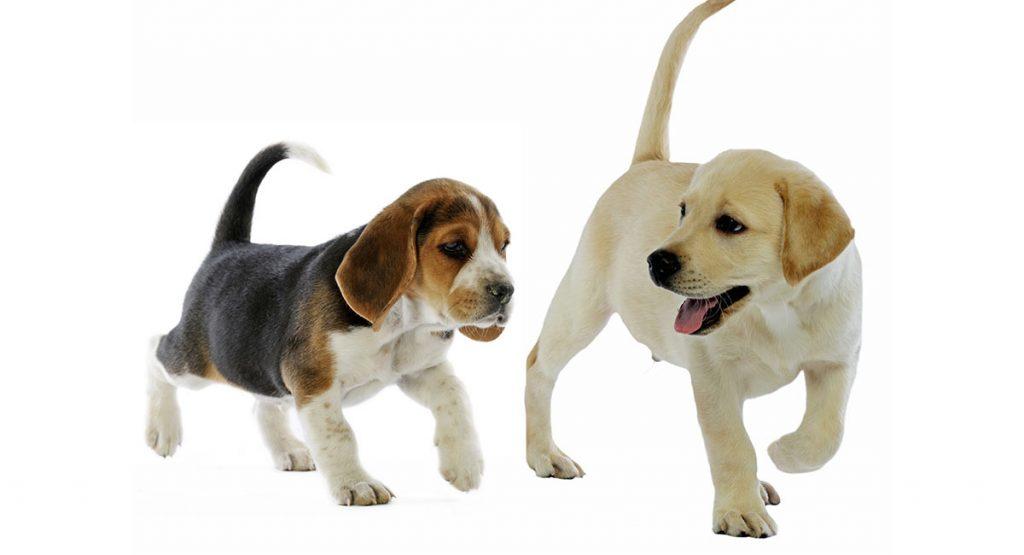 Beagle mixed with golden retriever puppy