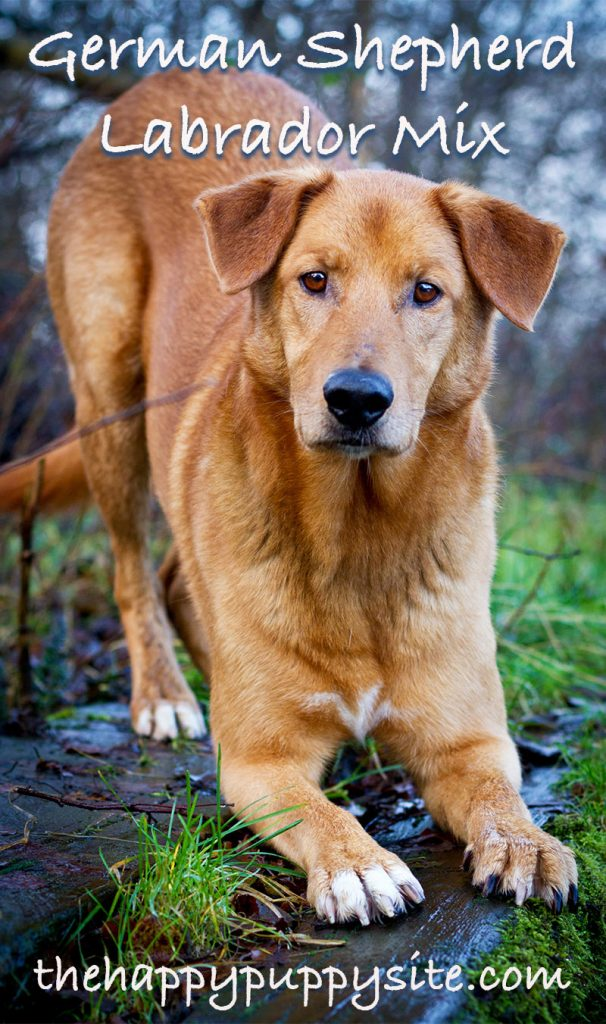 german shepherd labrador mix